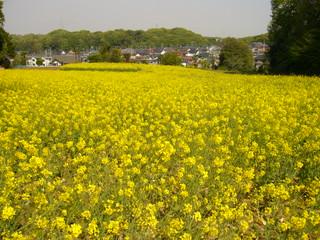 菜の花畑20100426