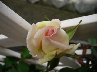 ローズセレスト20100429