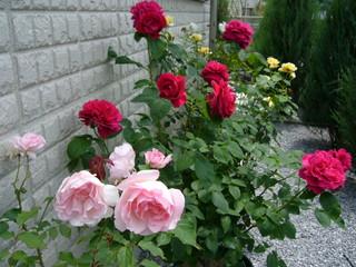 壁際のバラたち20100531
