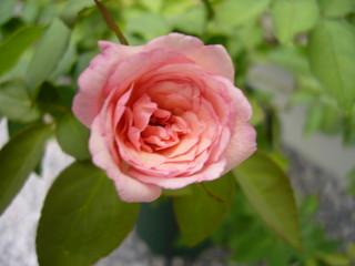デュシェスドゥブラバン20100830