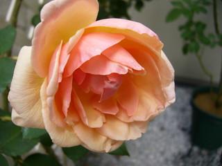 ローズセレスト20101016