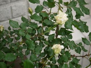謎のバラ20110517