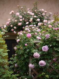 つるバラ20110610