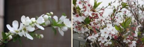 利休梅&桜