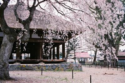 長床のしだれ桜_2009/04/20