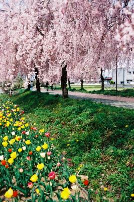 日中線記念自転車歩行者道のしだれ桜並木_2009/04/20