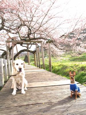 石部桜の下で朝のお花見デート_2010/04/24