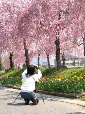 しだれ桜並木道、満開@日中線記念自転車歩行者道_2010/05/02