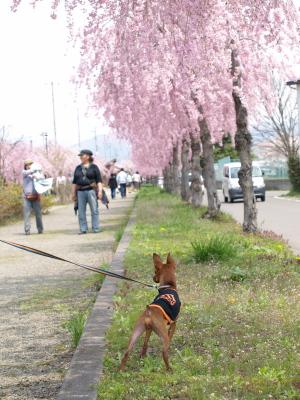 アクア@日中線記念自転車歩行者道しだれ桜並木道_2010/05/02