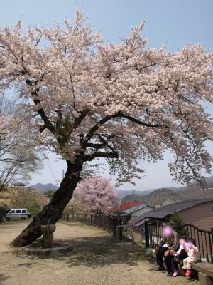 (旧)南會津郡役所の桜