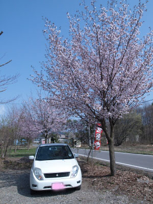 韓国料理店「平野屋」前の桜