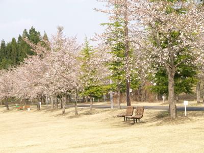桜@ふるさと公園