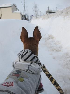 アクア、雪道お散歩中