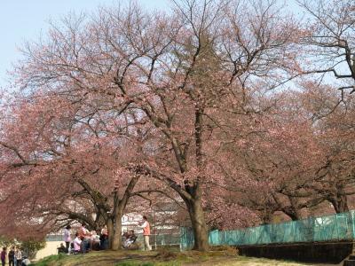 県立博物館の駐車場南側の桜の木の下で・・