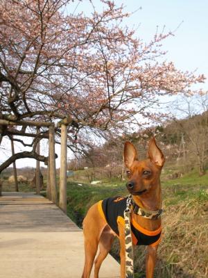 アクアと石部桜_2011/04/21夕方