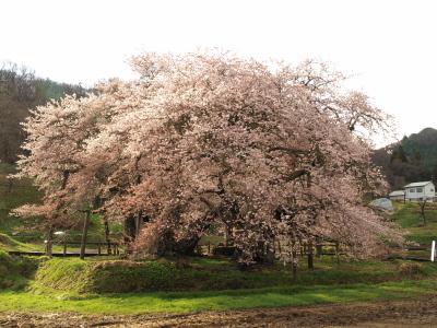 石部桜_2011/04/24
