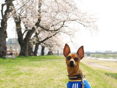 アクアと宮川の千本桜_2011/04/27