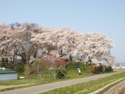 神指城跡の桜_2011/04/27