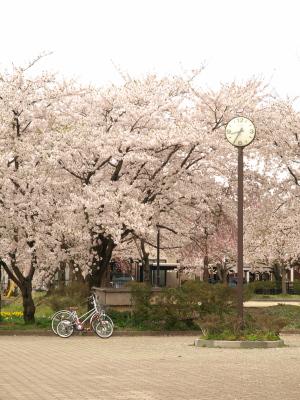 東部公園(会津若松市)の桜