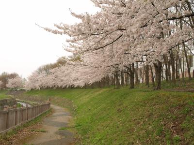 会津大学の桜並木_2011/04/30
