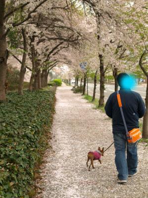 アクア@会津大学の桜並木_2011/04/30