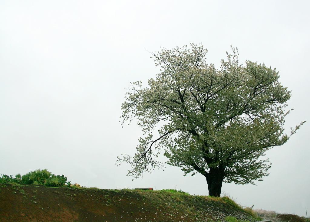 IMG_3256-sakura.jpg