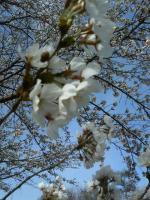 20100421桜1