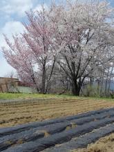 20110429畑のさくら