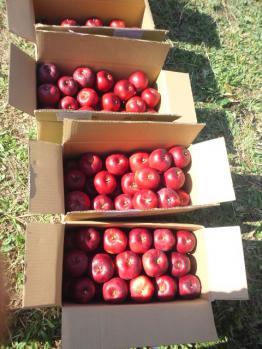 20121022紅玉の収穫