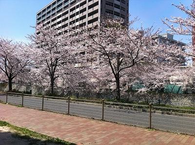 sakura_20110406123421.jpg