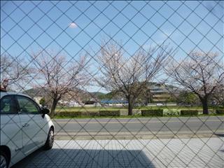 2013-04-04さくら並木 ブログ (2)