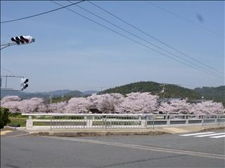 2013-04-04さくら並木 ブログ (4)