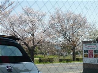 2013-04-04さくら並木 ブログ (6)