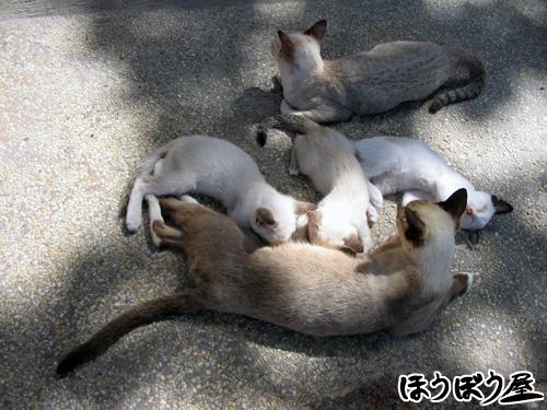 ナンユアン島 猫