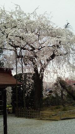 20110411長瀞 桜