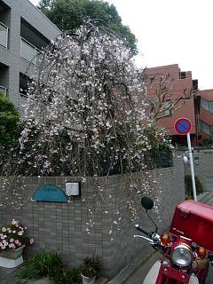しだれ桜(その3)