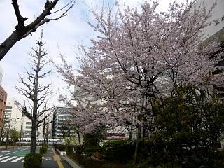 スポセンの桜(その2)