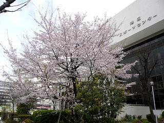 スポセンの桜(その3)