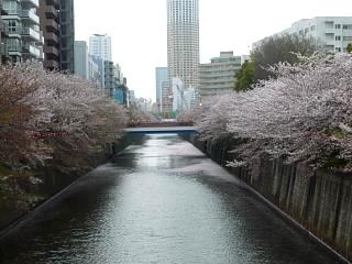 目黒川(桜その1)