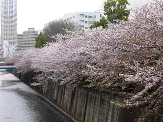 目黒川(桜その2)
