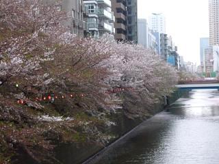 目黒川(桜その3)