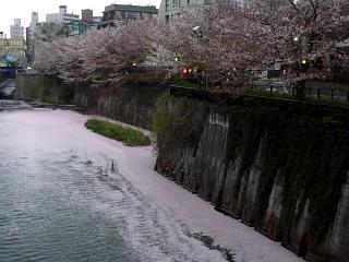 目黒川(桜その11)