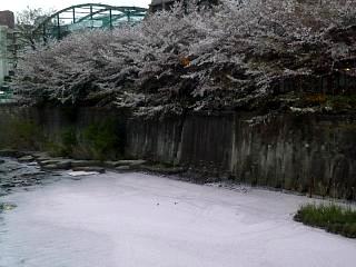 目黒川(桜その12)