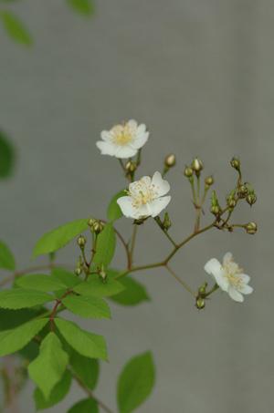 nobara2010511-1.jpg