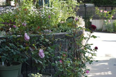 roses2010508-1.jpg