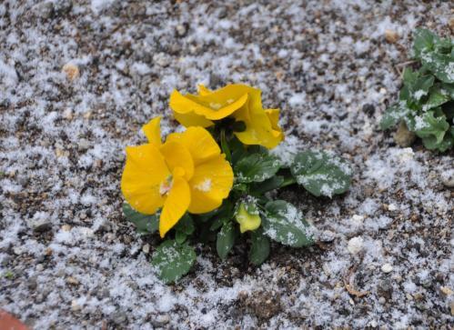 雪化粧の花