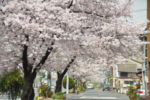 三滝通り北側の桜