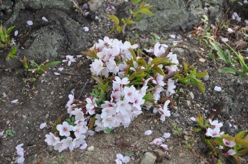盆栽のような桜