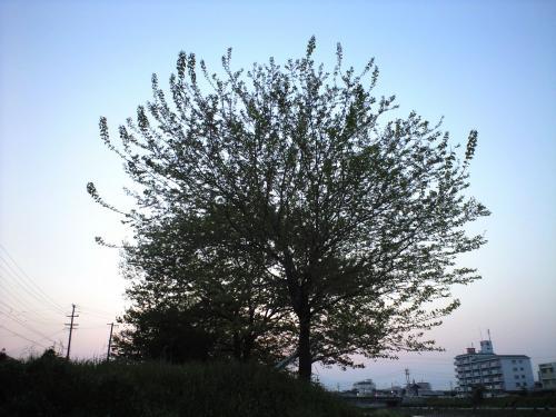 三滝川の木