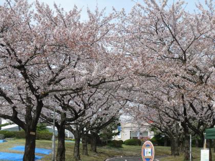 桜まつりミニ①